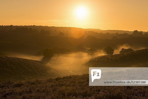 Sunrise above endless hills with blossoming heather with fog banks in the valleys  Veluwe (Netherlands)  full of atmosphere.