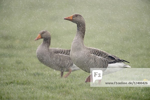 Greylag Goose ( Anser anser )  couple  walking over a meadow  in heavy spring rain  wildlife  Europe.