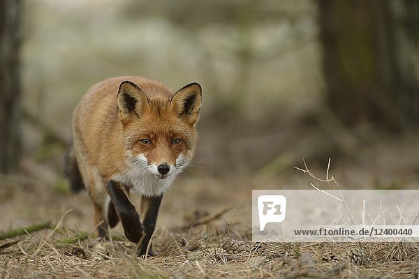 European Red Fox ( Vulpes vulpes ) walking through coniferous woods towards the photographer  low point of view  wildlife  Europe..