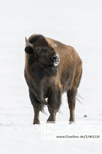 American Bison ( Bison bison ) in snow  watching dangerous  threatening to the photographer  Montana  USA.