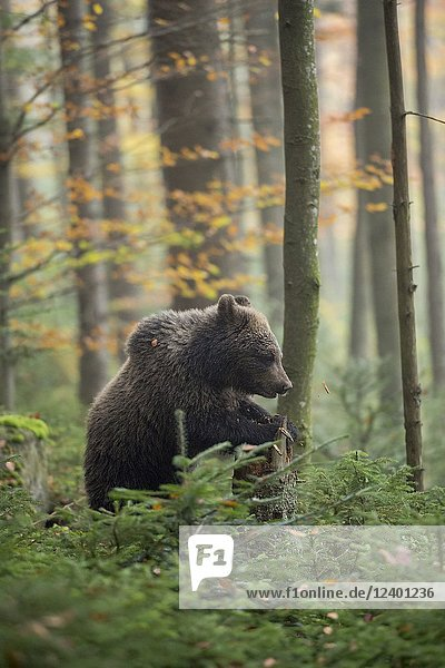 European Brown Bear ( Ursus arctos )  young cub  standing upright in the undergrowth of autumnal coloured woods  Europe..