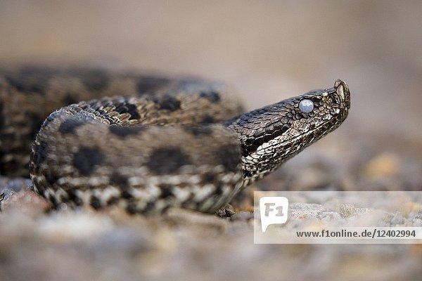 Vipera latastei  snub-nosed viper (Vipera latastei) before the molt. Moncayo natural Park. Saragossa. Aragón province. Spain. Iberian Peninsula. Europe.