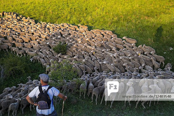 Flock of sheep crossing a transhumance road through the fields of the province of Soria in Spain.