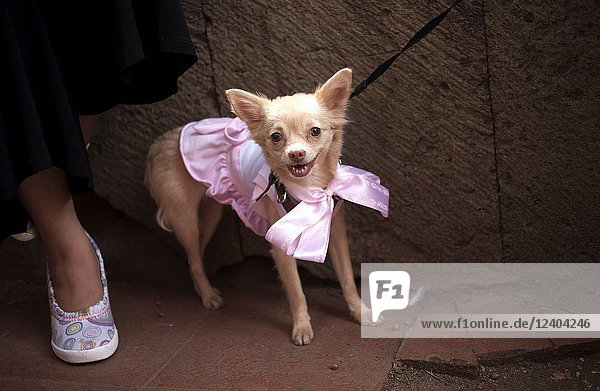 A dog dressed in a pink dress attends the Blessing of the.