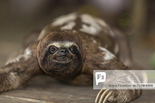 A captive 'pet' brown-throated sloth  Bradypus variegatus  San Francisco Village  Loreto  Peru.