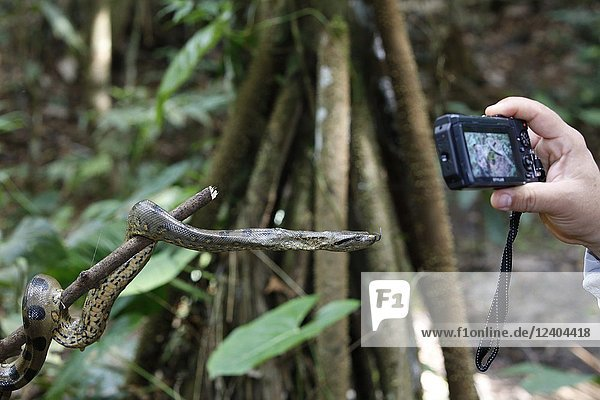 A photographer with a wild green anaconda  Eunectes murinus  Amazon National Park  Loreto  Peru.