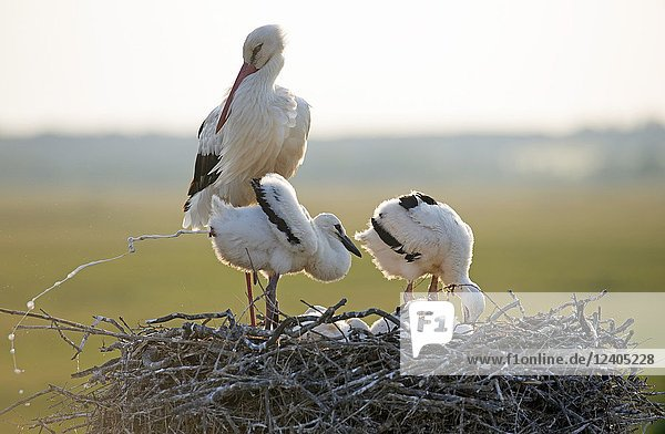 White stork  young  Excretion of excrements (Ciconia ciconia)  France.
