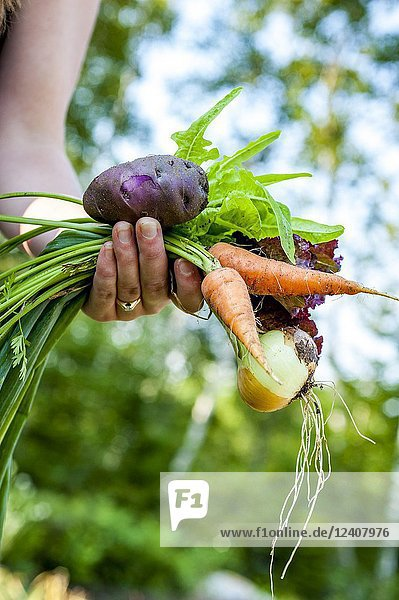 A partial view of woman gardener holding recently harvested vegetables from the garden., A partial view of woman gardener holding recently harvested vegetables from the garden.