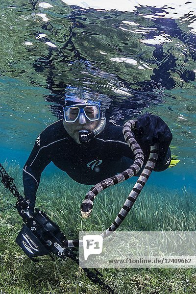 Banded sea krait  Laticauda colubrina  with photographer on Sebayur Island  Flores Sea  Indonesia.