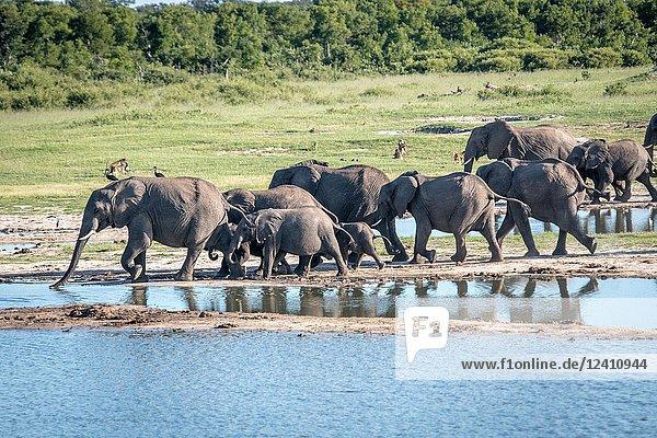 A family of elephants march across the landscape of Hwange National Park. Hwange  Zimbabwe.