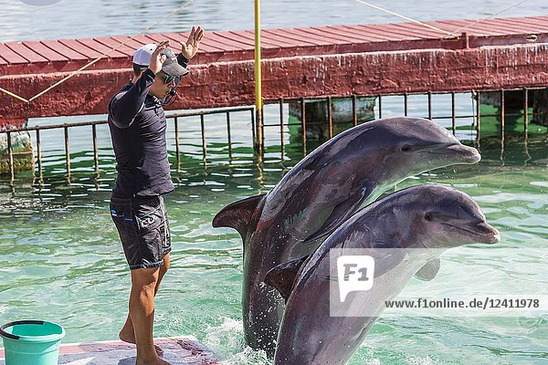 Captive bottlenose dolphins  Tursiops truncatus  performing at a show on Cayo Largo  Cuba.