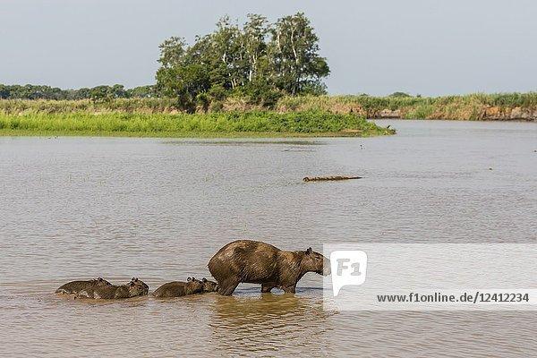 Adult capybara  Hydrochoerus hydrochaeris  with young  Porto Jofre  Mato Grosso  Pantanal  Brazil.