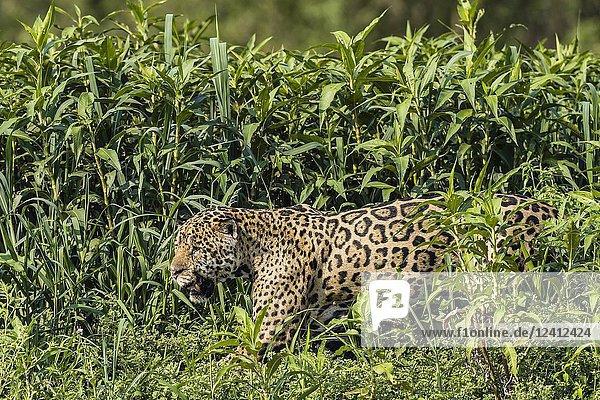 An adult male jaguar  Panthera onca  in tall grass  Rio CuiabaÌ.   Mato Grosso  Brazil.