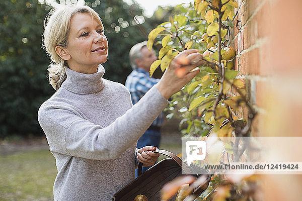 Mature woman harvesting apples in garden