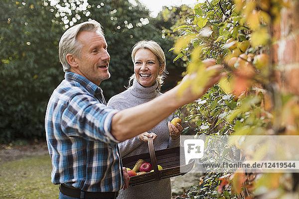 Mature couple harvesting apples in garden