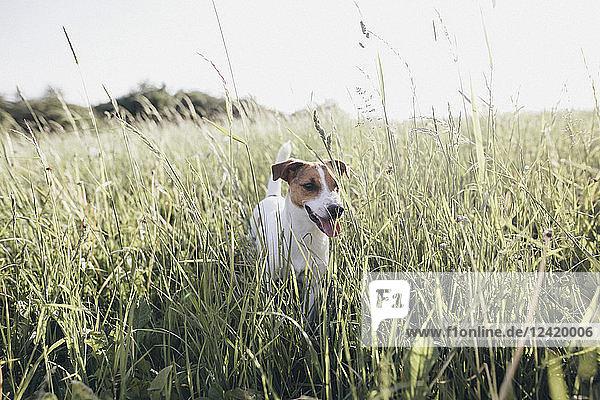 Jack Russel Terrier on a meadow Jack Russel Terrier on a meadow
