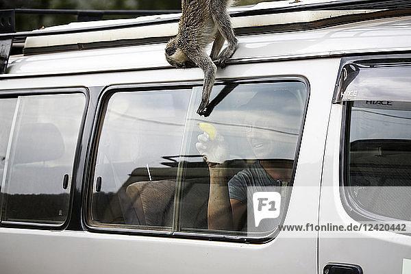 Uganda  Queen Elisabeth National Park  Curious vervet monkey climing on off-road vehicle