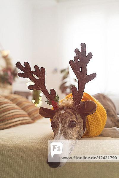 Portrait of Greyhound wearing deer antler headband