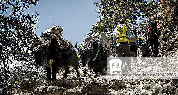 Nepal  Solo Khumbu  Everest  Sagamartha National Park  Mountaineers walking on dirt track with yaks