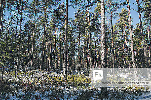 Sweden  Sodermanland  remote forest landscape in winter