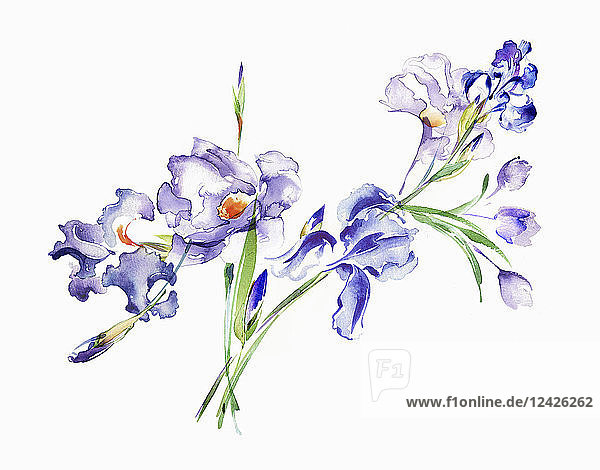 Watercolour painting of purple irises