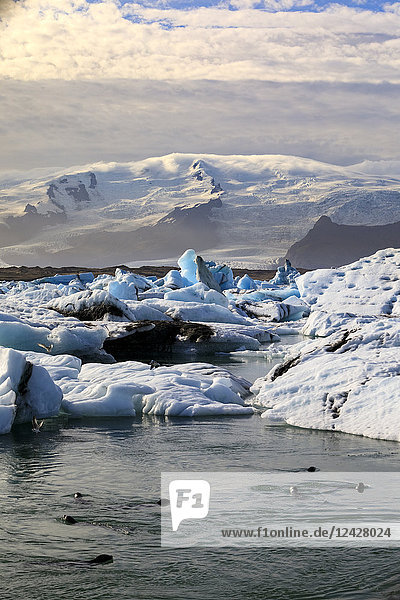 Majestic view with seals swimming in Jokulsarlon glacier lagoon  Iceland
