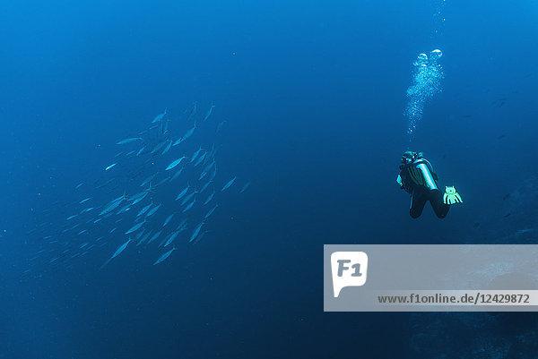 Scuba diver swimming past school of fish in Tubbataha Reef  Cagayancillo  Philippines
