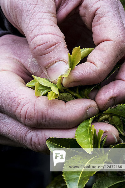 Close up of person holding freshly harvested green tea leaves.