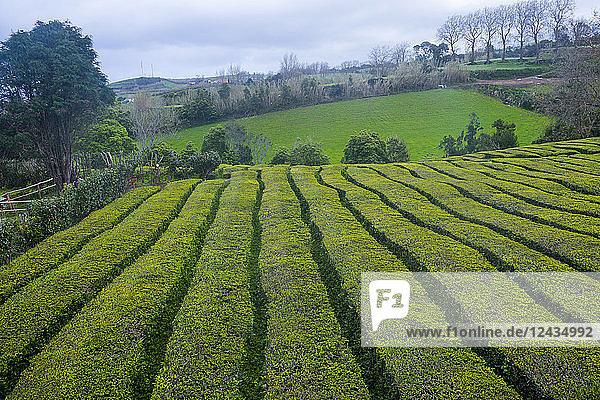 Tea plantations on the Island of Sao Miguel  Azores  Portugal  Atlantic  Europe