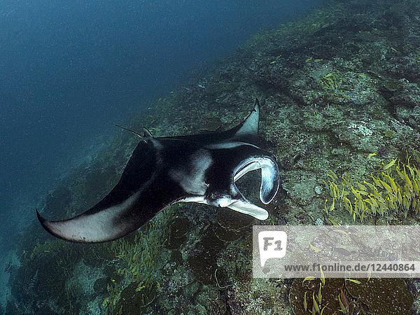 Maledives  manta