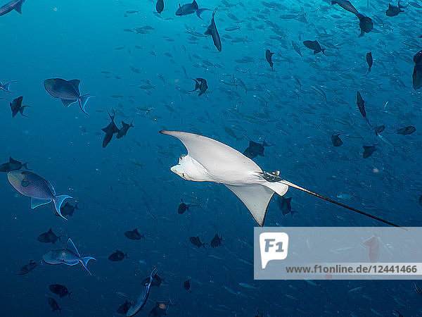 Maledives  Spotted eagle ray  Aetobatus narinari  and fishes
