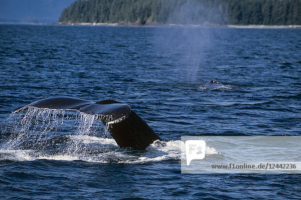 Pair Of Humpback Whales Swimming Along Surface Ak Se Frederick Sound Inside Passage