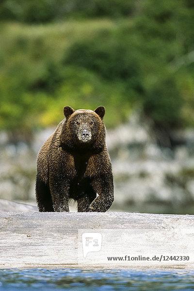 Brown Bear Walks Along River @ Geographic Harbor