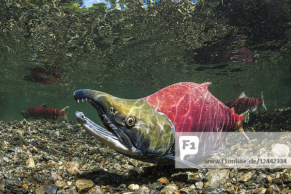 Mature Sockeye Salmon  also known as Red Salmon (Oncorhynchus nerka) male in nuptial (breeding) coloration in an Alaskan stream during the summer; Alaska  United States of America