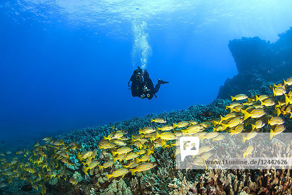 Scuba diver with a large school of Bluestripe Snappers (Lutjanus kasmira) swimming over healthy reef; Lanai City  Lanai  Hawaii  United States of America
