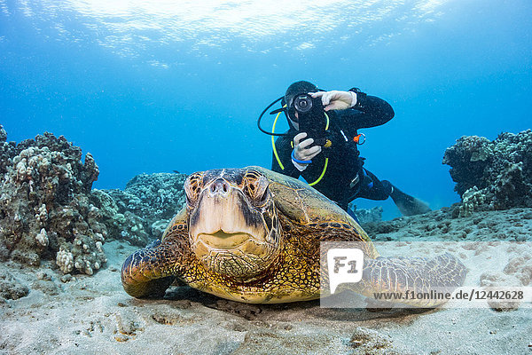A photographer lines up with his smart phone in a housing on this Green sea turtle (Chelonia mydas) off the coast of Maui; Hawaii  United States of America