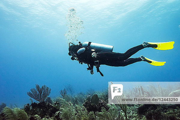 Scuba diver at Joe's Wall Dive Site  Belize Barrier Reef  Belize