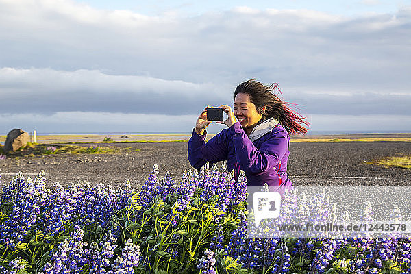 An asian female traveller takes pictures of the lupine flowers on a very windy day  Iceland