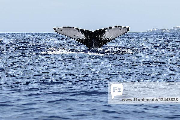 Humpback whale (Megaptera novaeangliae) tail fluke  Lahaina  Maui  Hawaii  United States of America