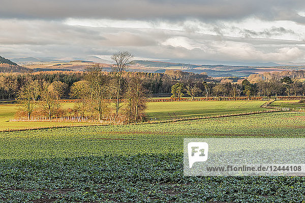 Looking beyond a field of cabbages to the distant Cheviot hills  Northumberland  England
