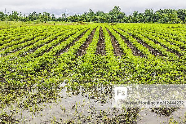 Agricultural crop in a field flooded with excess rain water due to the effects of climate change  Quebec  Canada