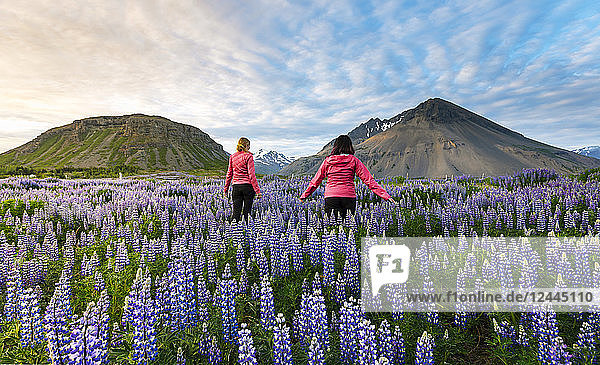 Two female tourists walk through a field of lupines towards the volcano mountains in the distance at sunset on a sunny summer evening,  Iceland