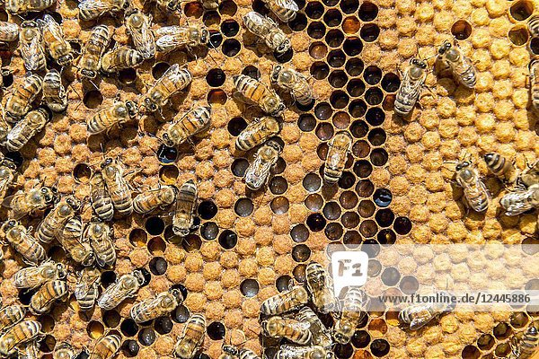A bees producing honey  a typical product from Non valley  Trentino Italy Europe.
