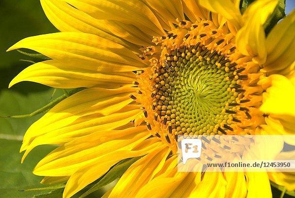 Sunflower  Marion County  Oregon.