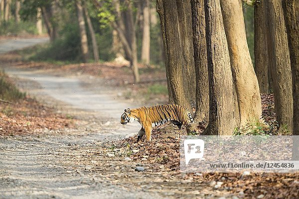 Asia,  India,  Uttarakhand,  Jim Corbett National Park,  Dhikala,  Bengal Tiger ( Panthera tigris tigris) crossing a forest walkway of sal or sâla (Shorea robusta).
