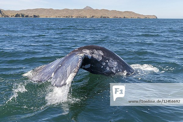 Central America  Mexico  Baja California Sur  Puerto San Carlos  Magdalena Bay (Madelaine Bay)  Gray Whale (Eschrichtius robustus)  tail with trademarks that are distinctive signs of each whale.