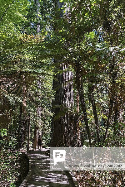 Woman walking on a footpath through The Redwoods  Whakarewarewa Forest. Rotorua  Bay of plenty region  North Island  New Zealand.