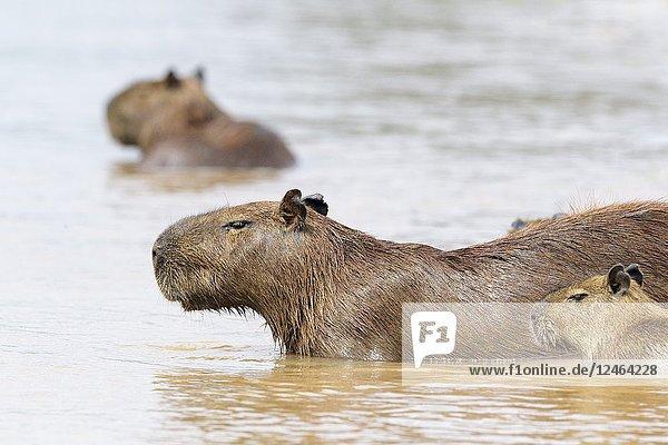 Capybara (Hydrochaeris hydrochaeris) family wading in river  Pantanal  Mato Grosso  Brazil.