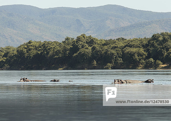 Hippopotamus pod in lower Zambezi River in Mana Pools National Park  Zambia