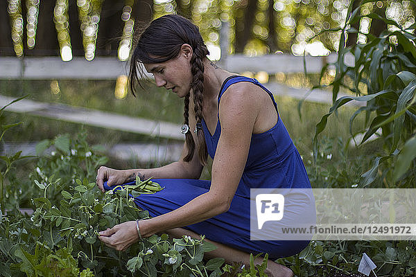Woman picks fresh peas from her garden during summer in Montana.